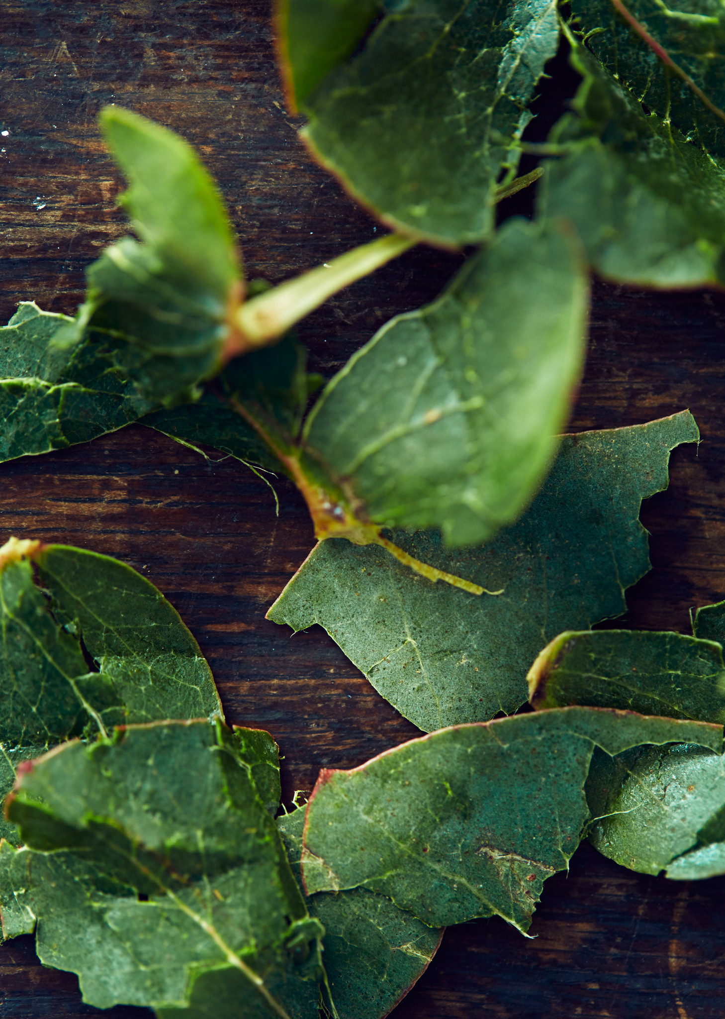 Eucalyptus_2048x2048
